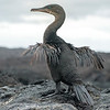 A Flightless Cormorant Shows Vestigial Wings