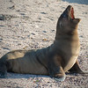 A Galapagos Sea Lion Loudly Announces Its Presence