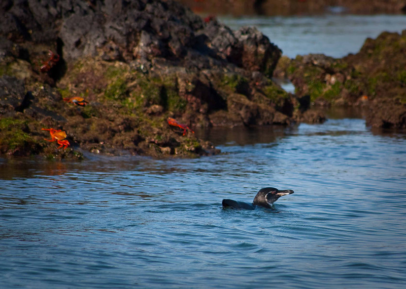 """""""Splish Splash""""<br /> The Galapagos penguin (the most northerly living penguin in the world) is one of the few species that migrated to the islands via the Humboldt Current.  Although they have managed to survive and adapt to this northern latitude their numbers are in serious decline which is believed to be mostly due to the ocean's warming."""