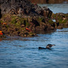 """Splish Splash""<br /> The Galapagos penguin (the most northerly living penguin in the world) is one of the few species that migrated to the islands via the Humboldt Current.  Although they have managed to survive and adapt to this northern latitude their numbers are in serious decline which is believed to be mostly due to the ocean's warming."