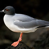 Ecuador. Swallow-tailed Gull in breeding plumage on Espaniola Island in the Galapagos.