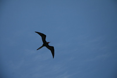 Frigate Bird Soaring High