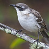 The Galapagos Mockingbird is endemic to the Galapagos Islands.