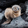 """""""Blue Eyes Crying in the Rain""""<br /> A very young sea lion pup - perhaps one of the most adorable creatures on earth - shares a moment with the photographer to connect."""