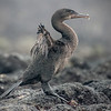 Flightless Cormorant Shows Its Vestigial Wings