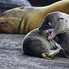 Ecuador. Galapagos Sea Lion pup and mother.