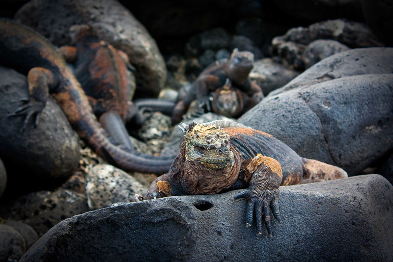 """Street Fighting Man""<br /> As evidenced by the missing digit tips of this big boy's right paw – the male marine iguanas not only butt heads but also become quite assertive during the mating season."