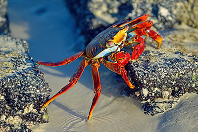 "A Sally Lightfoot Crab traverses over a ""huge"" stream in the Galápagos Islands"