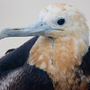 Female Magnificent Frigatebird in the Galapagos Islands.