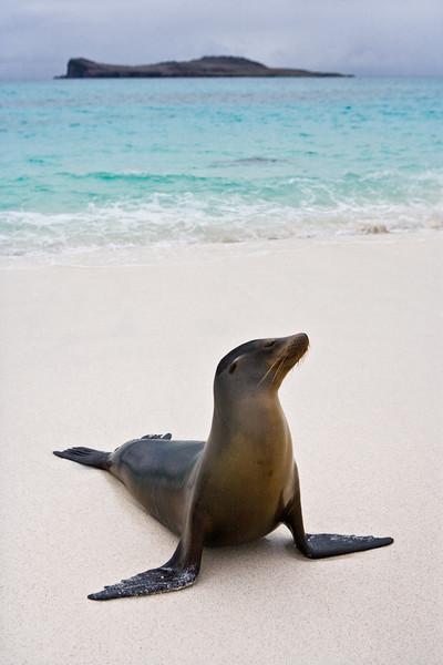 Ecuador. A sea lion poses on a beach in the Galapagos Islands.