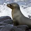 ecuador. Galapagos Sea Lion leaving the water.