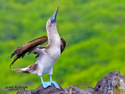Blue Footed Booby signaling a mate