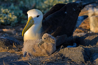 Galápagos Albatross and Hatchling