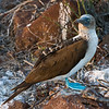Ecuador. A Blue-footed Booby perches on a guano-covered volcanic rock on North Seymour Island in the Galapagos.