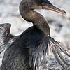 Ecuador. Flightless Cormorant drying out its stunted wings on Fernanadina Island in the Galapagos.