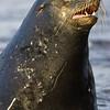 Ecuador. The beachmaster - Male Galapagos Sea Lion surveys his harem.