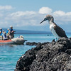 Blue Footed Booby and Tourists