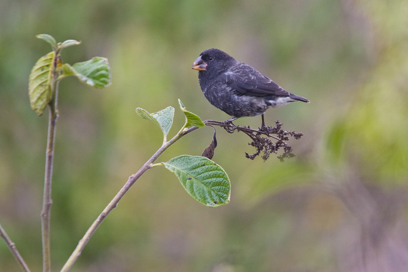 Ecuador. Large Ground Finch, one of Darwin's Finches, in the  Galapagos.
