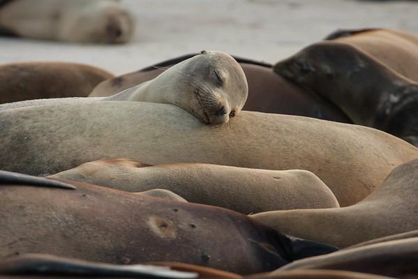Sea Lions Peacefully Sleeping