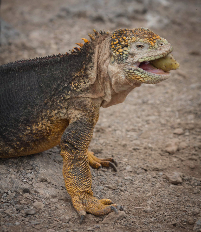 Land Iguana Eating Opuntia Fruit