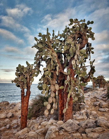 Opuntia cacti on South Plazas Island