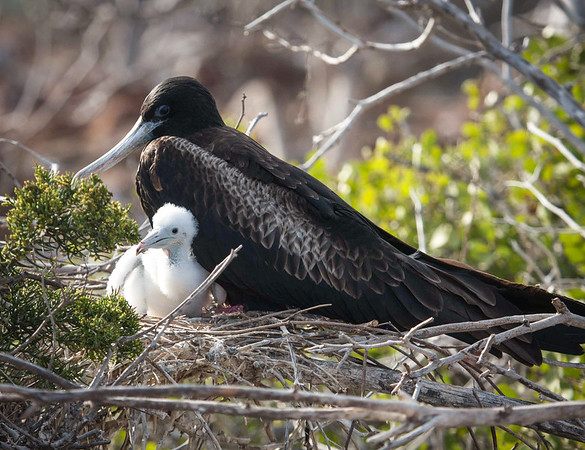 Frigatebird with baby