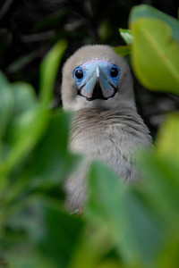 Peek-a-Boo   A young Red-Footed Booby peering out from its nest.