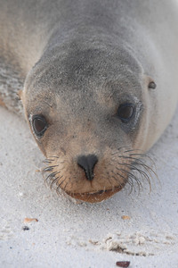 Young Sea Lion