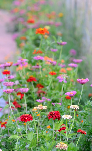 Zinnias bloom along the driveway into Glade Road Orchard west of Loveland on Wednesday, Aug. 22, 2018.  (Photo by Craig Young / Loveland Reporter-Herald)
