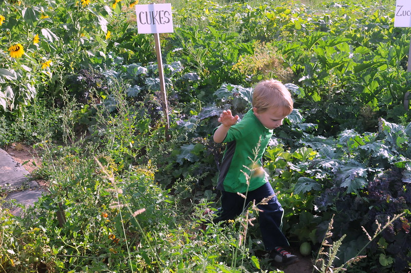 Matthew McMurtrey, 4-year-old grandson of Dave McMurtrey, owner of Glade Road Orchard west of Loveland, runs between the rows of vegetable plants Wednesday, Aug. 22, 2018.  (Photo by Craig Young / Loveland Reporter-Herald)