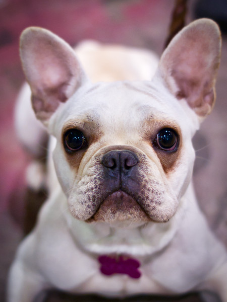 A friendly white french bull dog