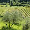 Vinhedo na Toscana