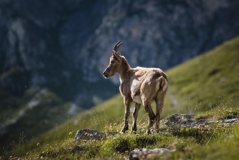 Chamois ♀ (Chèvre)