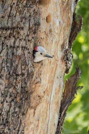 Dzięcioł białogłowy (Picoides albolarvatus)