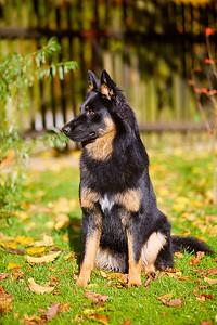 Ciro, Chodský pes