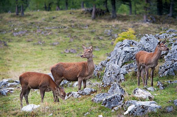 Hierschkuh(Tier) mit Jungtieren