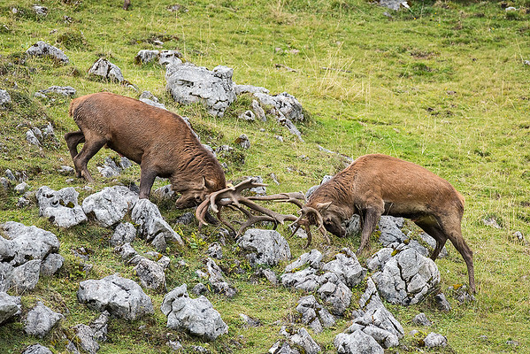 Kämpfende Hirsche in der Brunft