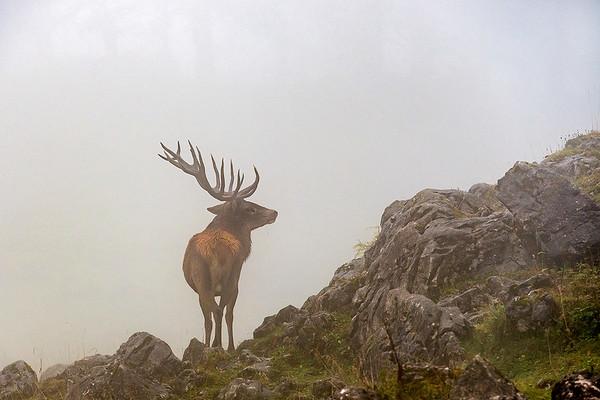 Rothirsch im Nebel