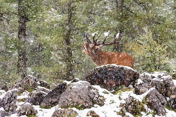 Rothirsch im Schneefall