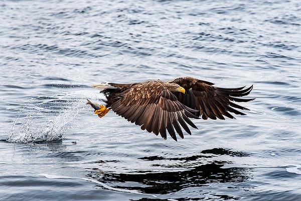 Seeadler mit frischen Fang