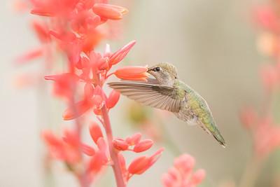 Koliber czarnobrody (Archilochus alexandri)