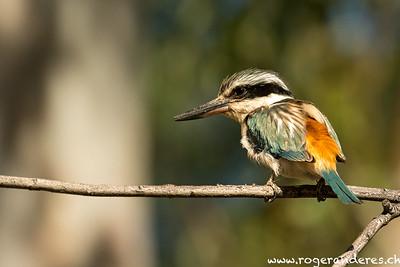 Kingfisher - Eisvogel