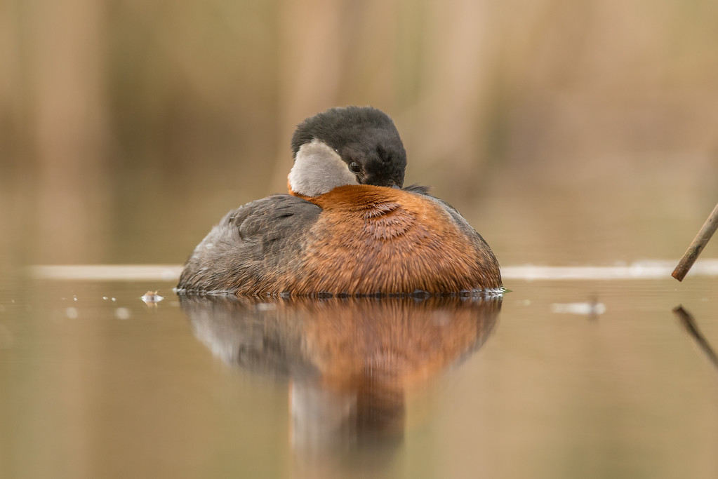 sleeping grebe