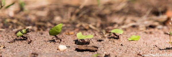 fleissige Ameisen