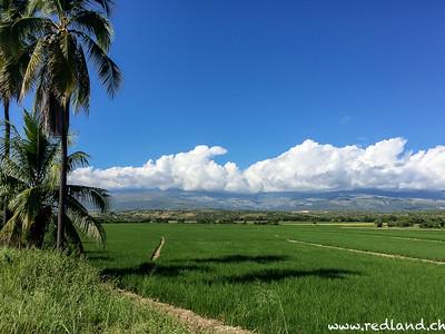 Reisfelder, schön grün