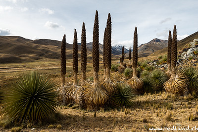 Parque National Huascaran, Puya Raimondi