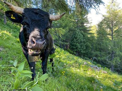 Zinal Roc de la Vache