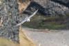 Fulmar (Fulmarus glacialis)