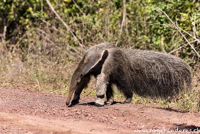 Ameisenbär Pantanal Süd