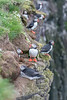 Maskonur (Fratercula arctica)